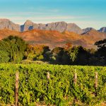 Vineyard in South African Western Cape