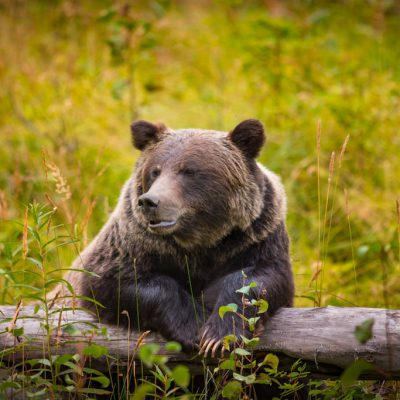 Wild Grizzly Bear West Canada Mondial Tours